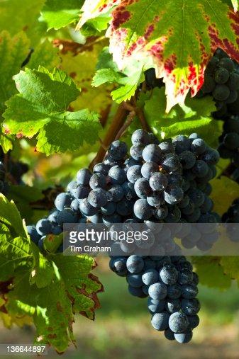 Ripe Merlot Grapes, Bordeaux, France