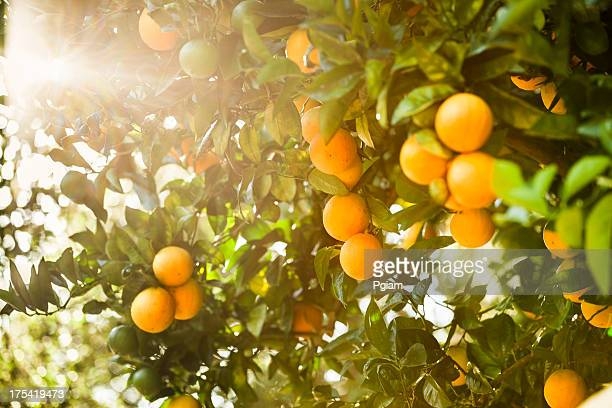 Ripe orange citrus grove