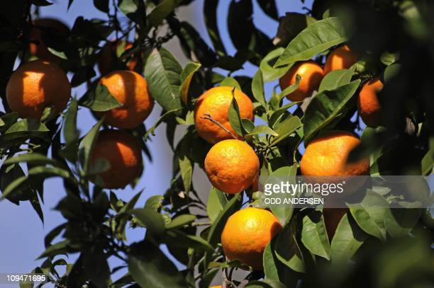 Ripe oranges hang on the trees in the Spanish city of Seville January 27 2011 AFP PHOTO / ODD ANDERSEN