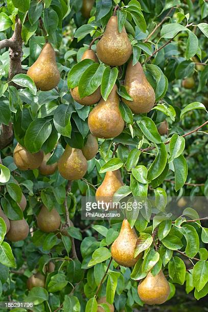 Ripe pears in orchard