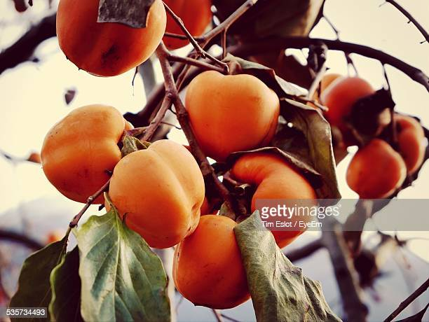 Ripe Persimmons Fruit On Branch