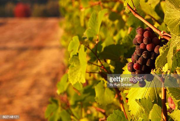 Ripe Pinot Noir Grapes In Evening Light