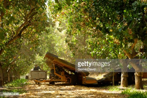 Pistachios Tree Stock Photos and Pictures | Getty Images