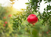 Ripe pomegranates on trees in the garden, with copy space