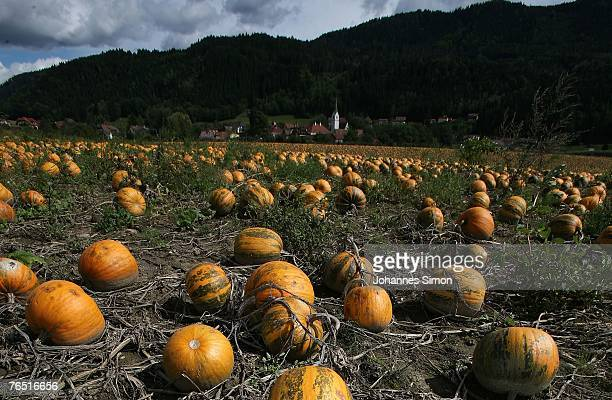 Ripe pumpkins cover a field on September 5 2007 at St Donat near Klagenfurt Austria In the southeastern Austrian districts Carinthia and Styria...