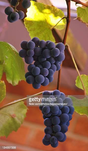 Ripe purple concord grapes on vine