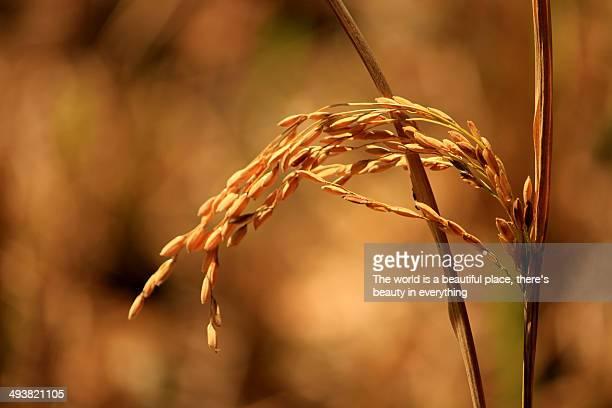 Ripe rice grain.