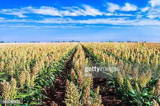 ripe sorghum milo millet crop field in rows