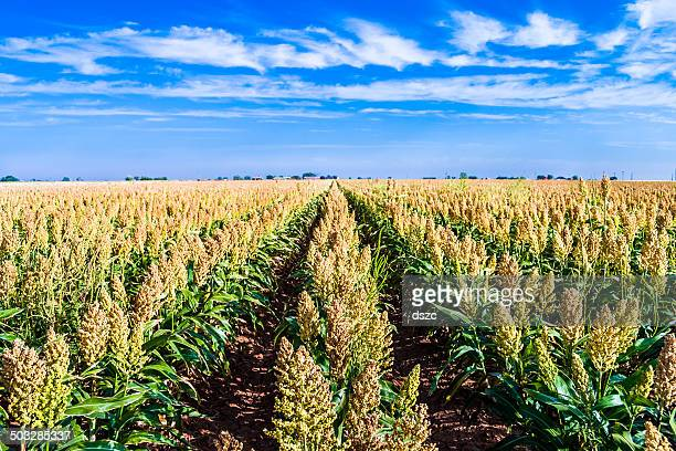 ripe sorghum milo millet crop field in rows