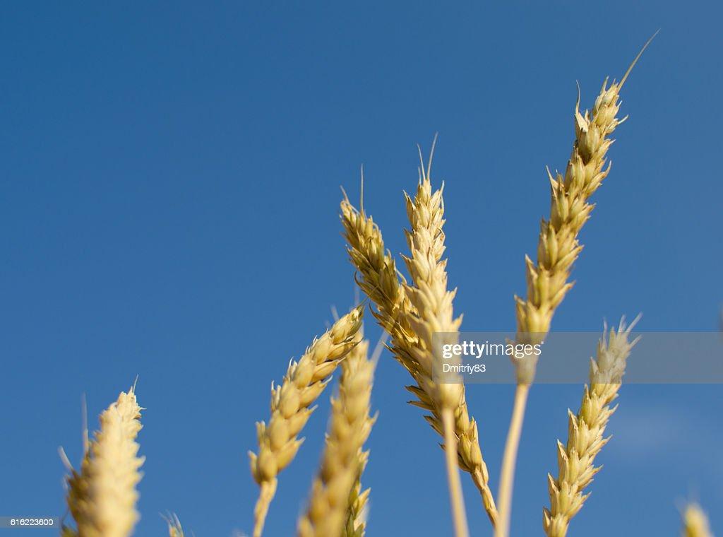 Ripe wheat close-up. : Stock Photo