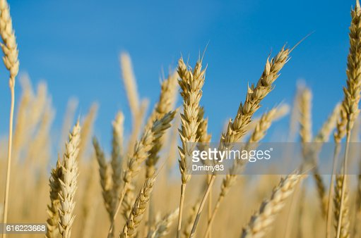 Ripe wheat close-up. : Bildbanksbilder