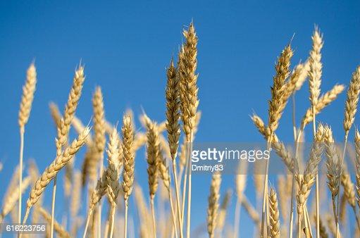 Ripe wheat close-up. : Bildbanksbilder