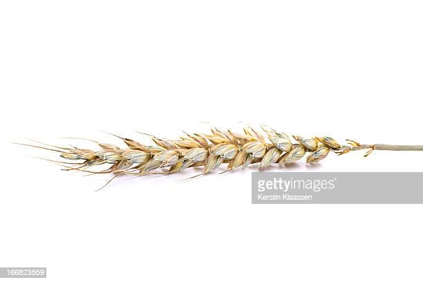 Ripe wheat ear isolated on white