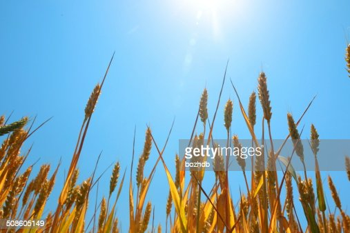 Ripe wheat under blue sky and sun. : Stock Photo