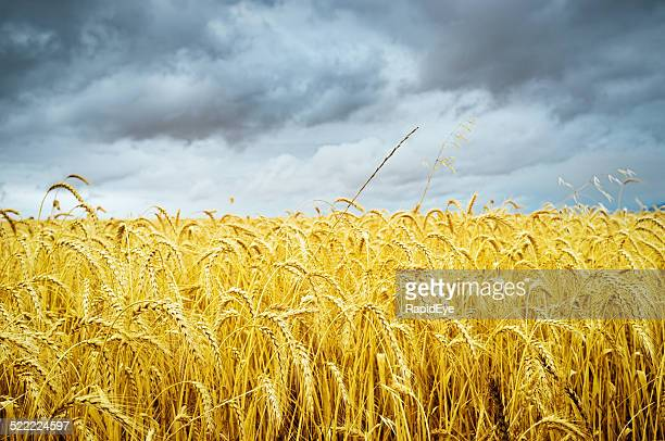Maturo wheatfield sotto cielo Tempesta