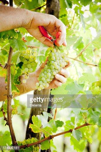 Ripe white grape : Bildbanksbilder