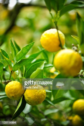 Ripe yuzu : Stock Photo