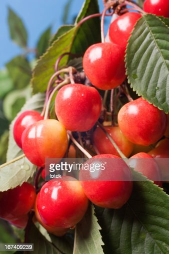 Ripening cherries on tree : Stock Photo