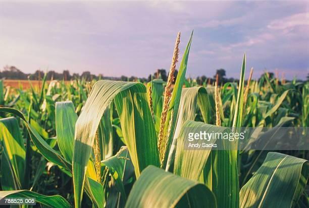Ripening corn (maize) in field