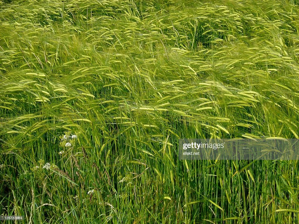 Ripening green barley : Stock Photo