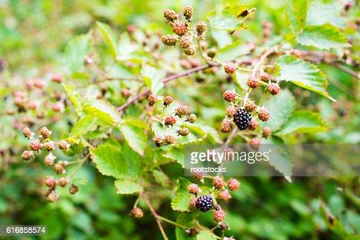 Ripening of the blackberries : Stock Photo