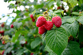 Close-up of ripening Raspberries on the Vine