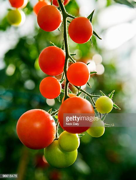 Ripening tomatoes on the stem