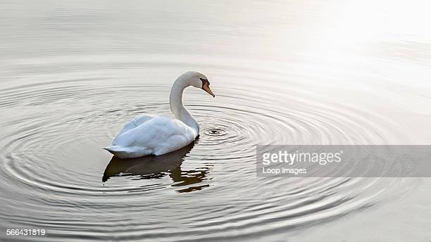 Ripples encircle a swan on calm water
