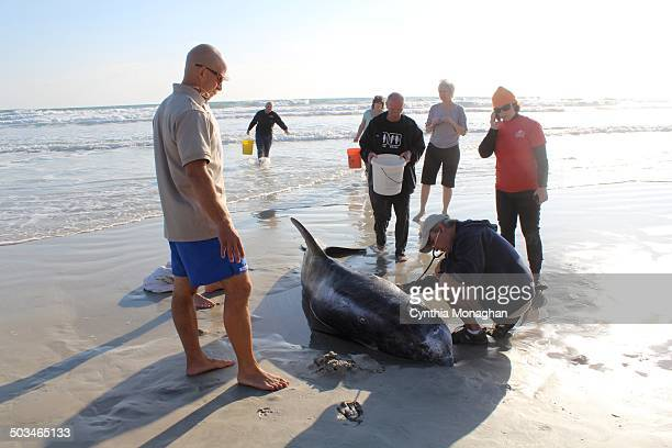 Risso's dolphin washed up at Ponce Inlet