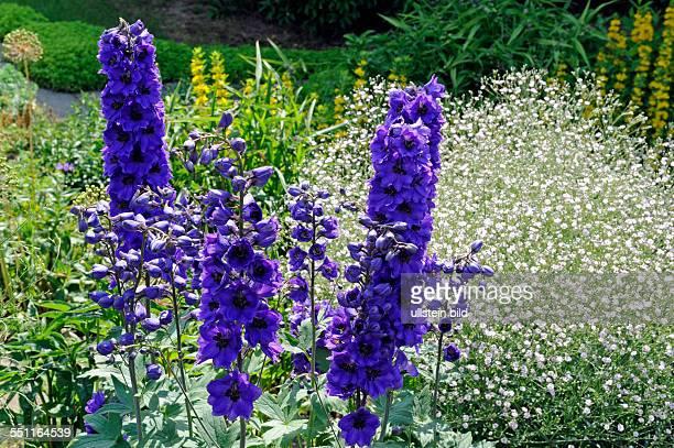 Rittersporn Harlekin mit dunkelblauen Bluetenrispen und schwarzem Auge ist von Juni bis September der blaue Schatz der Blumengaerten dahinter...