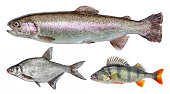 River isolated fish set, perch, bream, rainbow trout