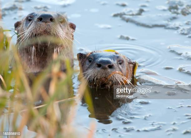 River otter Hide-and-Seek