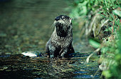 River otter in Summer with trout, North America