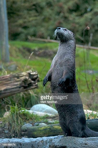 River Otter standing upright
