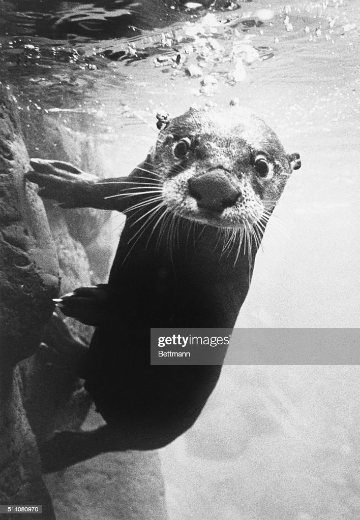 A river otter swims in his exhibit at the Oregon High Desert Museum near Bend, Oregon. | Location: near Bend, Oregon, USA.