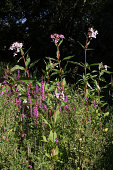 Riverside plants / wildflowers beside a river in Surrey, UK. Flowers of Indian / Himalayan balsam, a waterside plant now widespread in waterways of the UK; and purple loosestrife ((Lythrum salicaria))