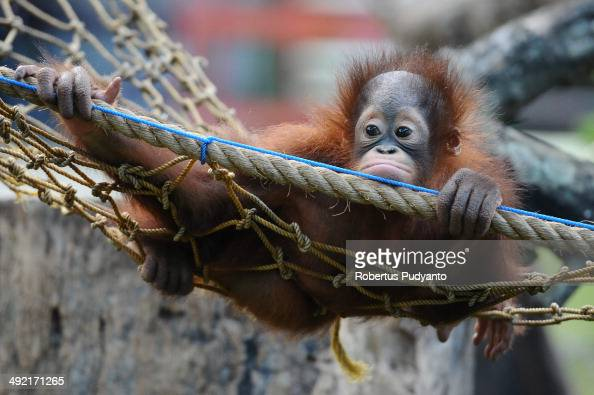 Rizki 10 months orphaned Bornean orang utan learns to bite at Surabaya Zoo as he prepares to be released into the wild on May 19 2014 in Surabaya...