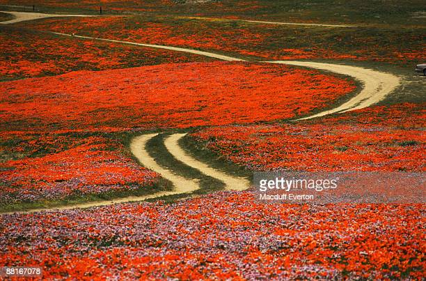 Road and field of California poppies