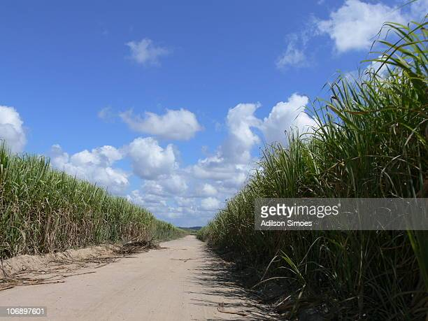 Road and sugar cane plantation