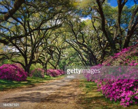 road lined with Azaleas and Live Oak tree canopy, Louisiana
