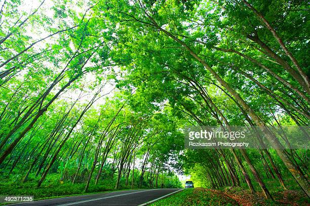 Road sheltered by rubber trees