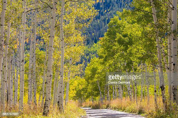 Road through aspen trees, Uinta Mountains, Wasatch Cache National Forest, Utah, USA