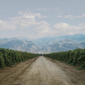 Road Through Grape Vines