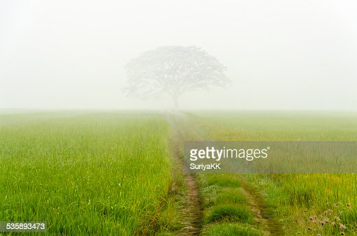 Road to big tree in the fog : Stock Photo