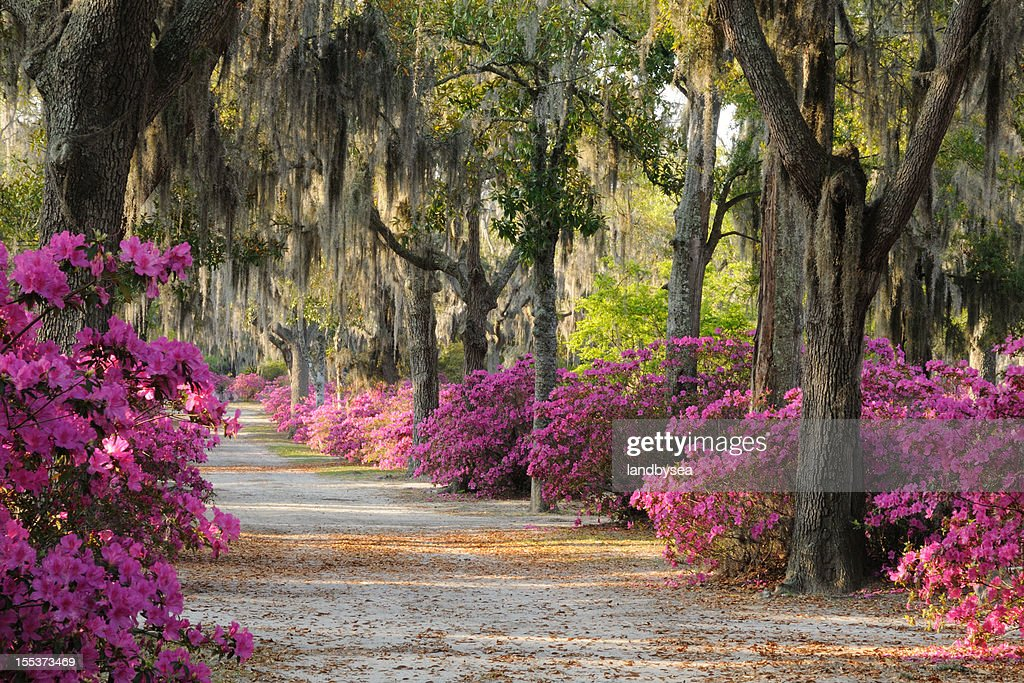 Road with Live Oaks and Azaleas in Savannah