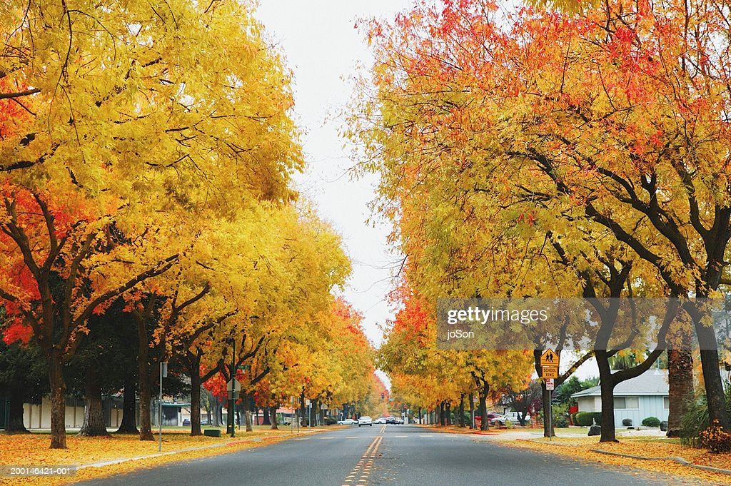 Road with Modesto Ash trees (Fraxinus velutina) : Stock Photo
