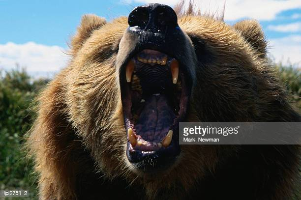 Roaring Grizzly Bear (Ursus arctos), United States of America
