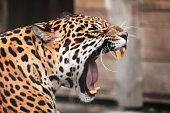 Roaring Jaguar. Portrait  of wild animal