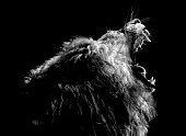 A lion roars with black background.