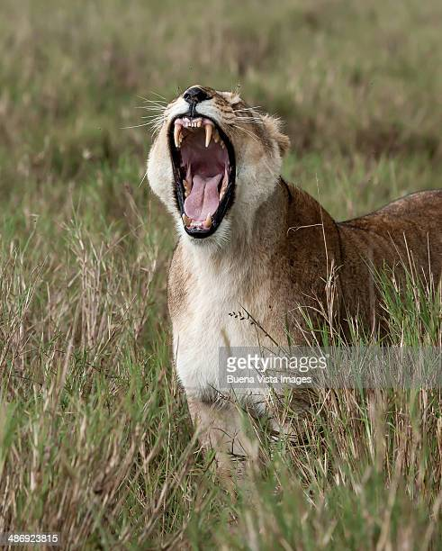 Lioness Roaring Stock Photos and Pictures | Getty Images